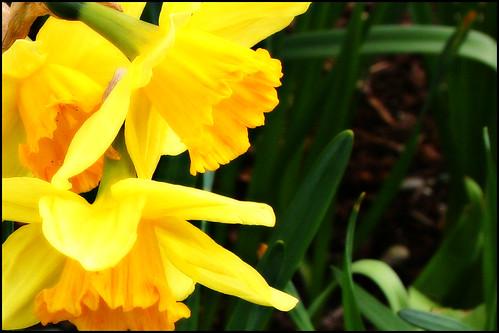 daffodils poem. Daffodils symbolize rebirth