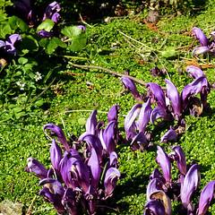 Parc de Maulévrier - Fleurs violettes et helxine