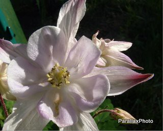 photograph pink columbine flower