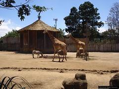DSC02143 (Fernando Reyes Palencia) Tags: animales paisajesdeguatemala bellospaisajesdeguatemala fotosdeguatemala fernandoreyes guatemalalandscapes fotosfernandoreyes imagenesdeguatemala postalesdeguatemala