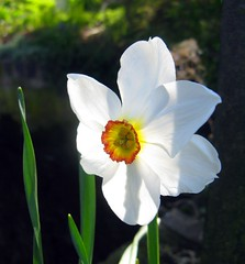 Pheasant's Eye Daffodil (Wez Smith) Tags: red white eye daffodil locks narcissus pheasants poeticus oxenhall