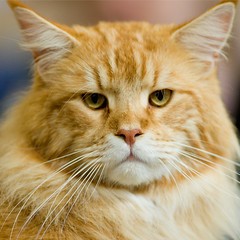 Maine Coon Portrait 2 (peter_hasselbom) Tags: red orange cats cat mainecoon majestic imposing catshow cc100 cc1000