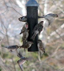 Coming and Going (ann j p) Tags: canada birds spring backyard feeder saultstemarie northernontario myyard abigfave commonredpolls natureselegantshots