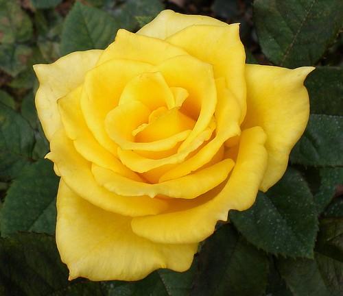 奧斯曼金黃4