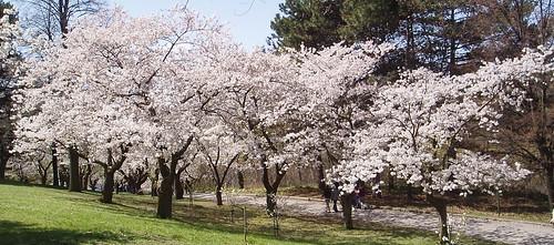 Cherry Blossoms @ High Park