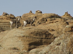 wild argali escape over rocks from the ruins of a secret monastery