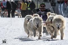 DI CORSA (Lace1952) Tags: cane dog canedaslitta neve corsa inverno kandersteg svizzera ch nikond500 nikkor80400vr