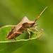 Dock Leaf Bug