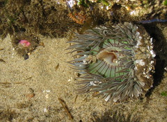 Anthopleuras (Jeff Goddard 32) Tags: anemone lowtide gaviota califronia santabarbaracounty anthopleura hermissenda hermissendaopalescens