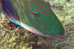 Parrotfish Face (Sam and Ian) Tags: red sea fish nature coral marine underwater snorkel wildlife snorkeling snorkling snorkelling reef snorkle specnature top20fish