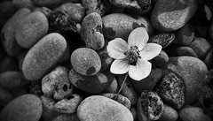 one & only (serhio) Tags: bw white ontario canada black flower one rocks sony cybershot explore only sergei dscw1 courtice yahchybekov serhio