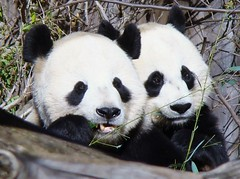 A peaceful moment (Panda Overload) Tags: blackandwhite nature washingtondc nationalzoo giantpanda tiantian watcher meixiang supershot naturewatcher