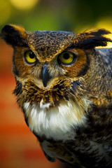 Great Horned Owl (kotobuki711) Tags: red rescue green yellow eyes dof florida bokeh beak feathers owl fl rescued greathornedowl audubon maitland
