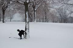 Tree decorating (cantaloupe99) Tags: dog snow tree pee peeing