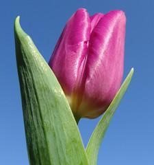 Spring for a Day (KAMorin) Tags: blue macro green nature closeup purple bluesky tulip inthesky masterphotos anawesomeshot flowerinwinter colorphotoaward kamorin colourartaward mothernaturewastauntingus