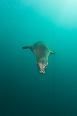 Dive bomber at 12:00 (- drsteve -) Tags: sea miguel mammal marine san underwater dive lion scuba diving whiskers sealion bomber juvenile delinquent