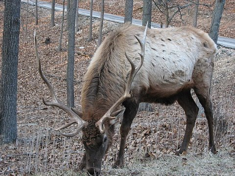 the magnificience of the antlers...elk stag