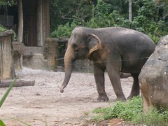 Singapore Zoo (sftrajan) Tags: elephant zoo singapore elefant singapur asianelephant elefante  lphant    asiatischerelefant      asiatiskelefant