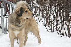 What's That?! (stirwise) Tags: dog snow animal parkinglot traderjoes alert bikerack 1585 canonxti
