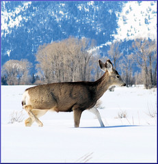On The Move (ShacklefordPhotoArt) Tags: animal wildlife wyoming jacksonhole wildanimals