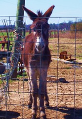 Hello (peaceswirl) Tags: donkey fortpayneal