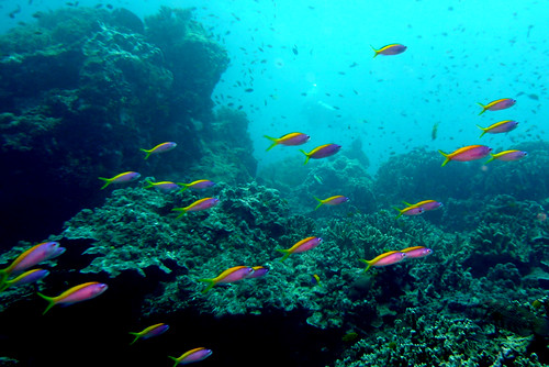 School of Evans Anthias on Similan Islands