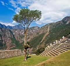 Lone Tree in Machu Picchu