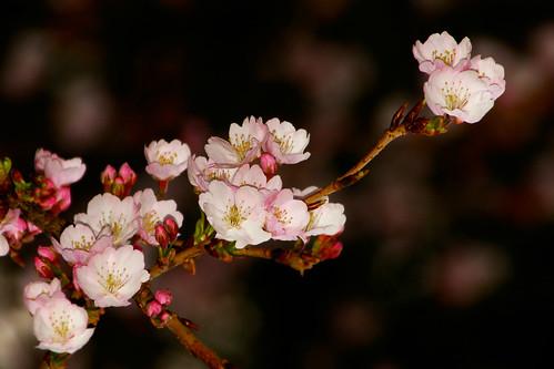Twilight Cherry Blossom
