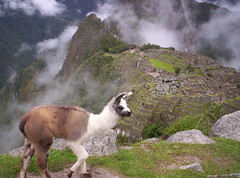 Abitante di Machu Picchu (Grabby Walls) Tags: city travel peru machu picchu inca cuzco america lost cusco south llama perù pichu lama viaggi viaggio sud incas città viaggiare qosqo perduta aplusphoto diamondclassphotographer grabbywalls