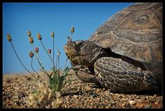 Desert Tortoise (sandy.redding) Tags: california desert deserttortoise explored gopherusagassizii impressedbeauty nikkor18200mmf3556g