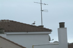 DSCF0320 (Juanmin) Tags: aves pajaros gaviotas