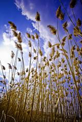 Pampas Grass (eyecbeauty) Tags: sky beautiful clouds detroit cattails fabulous pampasgrass blueribbonwinner aplusphoto excapture thisphotorocks goldstaraward llovemypics mostbeautifulpictures favtop50 bestofbeautiful
