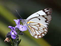Butterfly on Rosemary