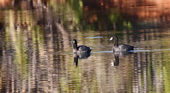 """Pair of """"Coots"""" (Outdoor Exposure by Denise) Tags: nature birds ducks coot americancoot citrit"""