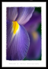 Eye of the Iris (Miles Away Photography) Tags: iris flower color detail macro art nature beautiful yellow closeup contrast photo spring amazing flora soft purple picture dramatic petal edge frame stunning breathtaking excellence eyecatching blueribbonwinner supershot mywinners softedge platinumphoto platinumphotograph breathtakinig mandimiles mandimilesphotography