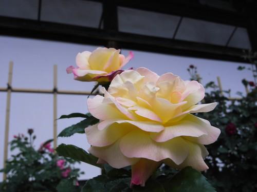 おふさ観音(バラ)-06