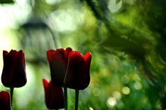 In search of fairies? (BeautifulRust) Tags: morning flowers light red green nature garden dark spring nikon bokeh quote hunting explore elf fantasy tulip faery fairies tulipa elves beautifulrust allingham d5000 janreus