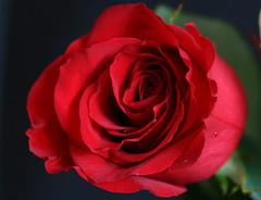 La flor del amor (Urugallu) Tags: canon flora flickr amor flor rosa sensual gotas roja romantica pasion perlas sentimiento rosaroja repeto majestuosa rojopasion urugallu respero