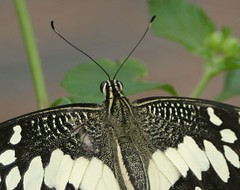 SWALLOWTAIL (azfotojoy) Tags: butterflies macroshots