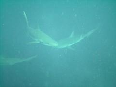 PICT0071 (JoseQ) Tags: blue mar hole great tiburones buceo caribe submarinismo tiburón