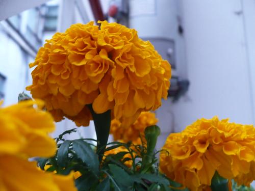 "03-11-07 ""Cempasuchil flower"""