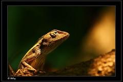 Garden Lizard (Neloy) Tags: india canon lizard dslr bengal naturesfinest aplusphoto superbmasterpiece neloy