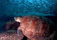 trtljacks9966pcw (gerb) Tags: school fish topf25 beautiful topv111 1025fav 510fav wow ilovenature topv555 topv333 pattern underwater turtle topv1111 topv999 scuba fv5 pi malaysia wildanimal fv10 topv777 d100 jacks sipadan animalplanet aquatica 105mmf28gfisheye supershot sipadanphotoweek pfo tvx megashot photofaceoffwinner bfgreatesthits bflfgreatesthits pfogold