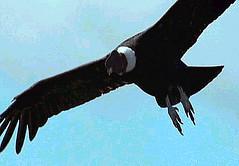 09 Condor migrates