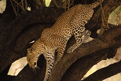 Leopard Female (Andrew Molinaro) Tags: africa tanzania safari mammals animalplanet selous africanwildlife