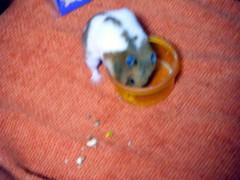 20071217 - 08 (kayako_) Tags: hamster pon