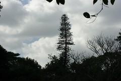 Tree rising above all (Swami Stream) Tags: india gardens canon landscape botanical rebel bangalore images karnataka swami lalbagh swaminathan karntaka banaglore bengaluru xti 400d swamistream naturessilhouettes swamistreamcom