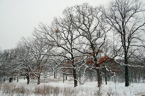 Line of oaks