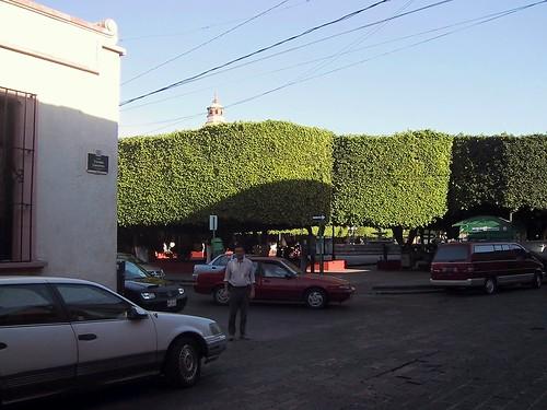 Querétaro, ficus de la plaza, muy peinados