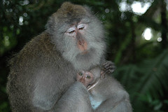 mother's love, Monkey Forest Ubud (Tempo Dulu) Tags: bali love indonesia monkey ubud macaque monkeyforest 22169453n04